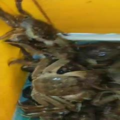 洪湖市 上半年最后的货源,洪湖清水大闸蟹甩卖