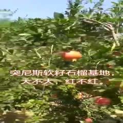 临沂平邑县 石榴树苗地栽盆栽突尼斯软籽特大庭院南北方种植果树苗石榴树树