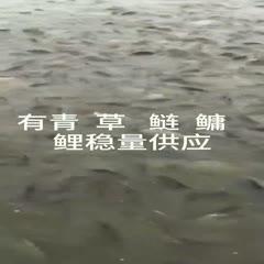 湘阴县 渔家乐   鲫鱼争食(湘云鲫)。