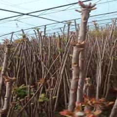 渭南华州区绿香椿芽 现货现摘,保证新鲜!