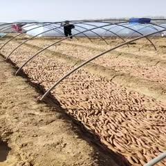 德州夏津县 红薯种薯