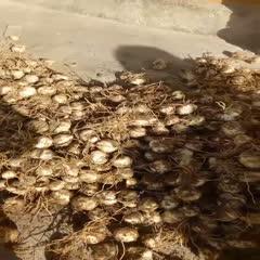 兰州七里河区百合种子 独头种子