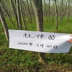 赣州崇义县杜仲苗 杜仲树