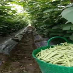 惠州博罗县 四季豆