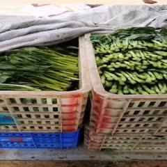 廣州廣東菜心 大量貨運可供應