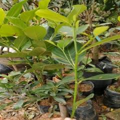 钦州灵山县 泰十二红肉菠萝蜜 嫁接树苗 红肉菠萝蜜苗原装营养杯发货