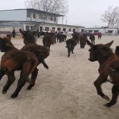 菏泽巨野县 改良肉驴,架子驴,商品驴,种驴