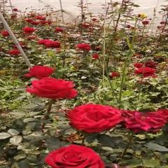 昆明晋宁区玫瑰苗 价格优惠,欢迎咨询订购