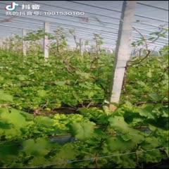 青岛莱西市 半岛大棚巨峰葡萄