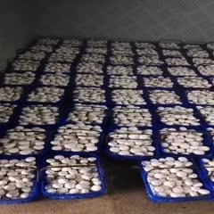 淮安涟水县 双孢菇,蘑菇,厂价大量批发