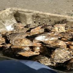 大连金州区 牡蛎,生蚝,大连蚝,大连牡蛎
