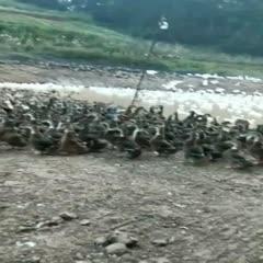 重庆涪陵 一年左右老鹅