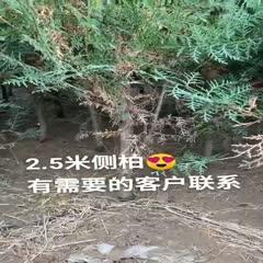 西安周至县 2.5米侧柏