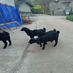 成都金堂县 精准扶贫推荐优质品种金堂黑山羊