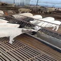 濟寧梁山縣 精品黑頭杜波,澳洲白