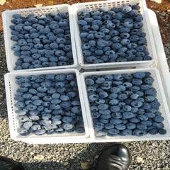 安慶潛山市 最好吃的藍莓-奧尼爾頭茬特級果,即日預售,5月20日前發貨