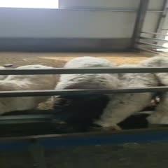 滄州肅寧縣土羊 110-140斤