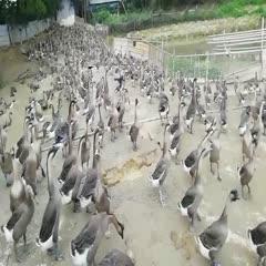 佛山 90天老鹅,均重7斤以上