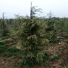 咸陽乾縣 8000顆雪松,急需用錢帶地50畝,高度2.5—3.5米