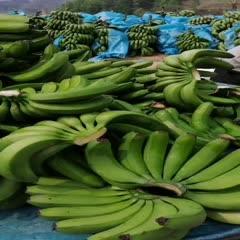 文山马关县 长期批发香蕉