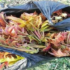 泰安岱岳区 红油香椿芽