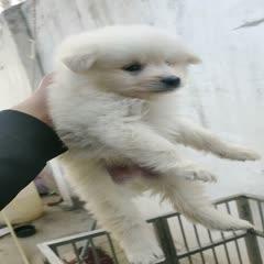 济宁嘉祥县 萨摩耶犬