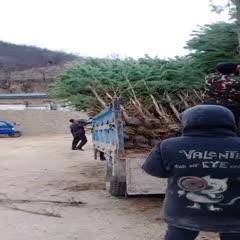 西安周至县樟子松 1~1.5米