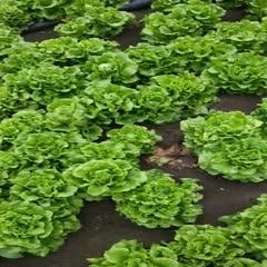 南陽 自家種植大批生菜有意者可以參考照片
