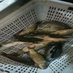 西安 鲤鱼