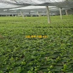 雅安无性系良种茶苗 独本苗 0.5米以下