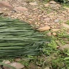 鹤山市生态草鱼 人工养殖 1-2.5公斤