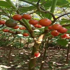 昌寧縣樹番茄 弧一以下