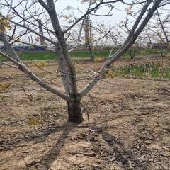 绛县 各种规格核桃树  核桃苗