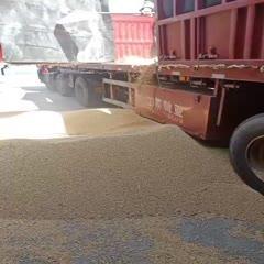 淮南 长年销售进口大豆。乌拉圭,俄罗斯,美湾精选高蛋白大豆。