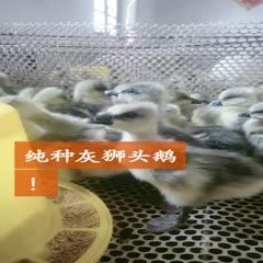 嘉祥县狮头鹅 12斤以上 统货 全圈养