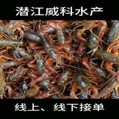 潜江小龙虾中青大青678910硬规格炮头两虾酒店专用虾包邮