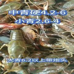 潜江小龙虾小青红中青红大青红456-78910以上炮头包邮