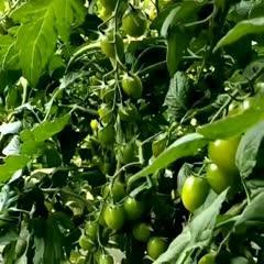 绿宝石西红柿种子 绿宝石番茄种子长椭形阳台生吃口感庭院蔬菜水果瓜果种籽