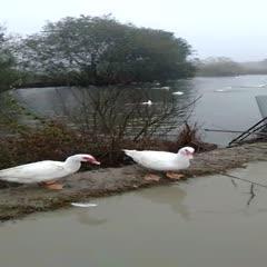 白鸭 6-7斤 统货 半圈养半散养