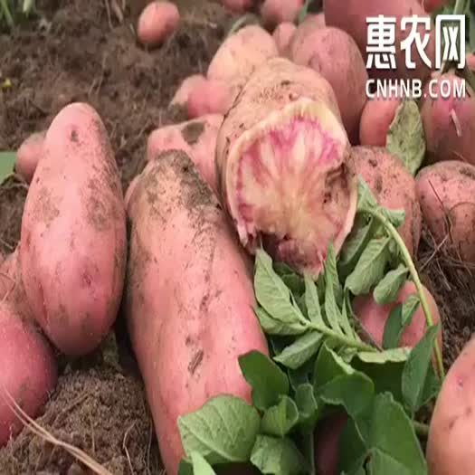 红土豆  云南高海七彩土豆花心土豆大牛角大量上市一件代发